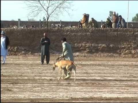 Greyhound race in pakistan sargodha new 2017 youtube