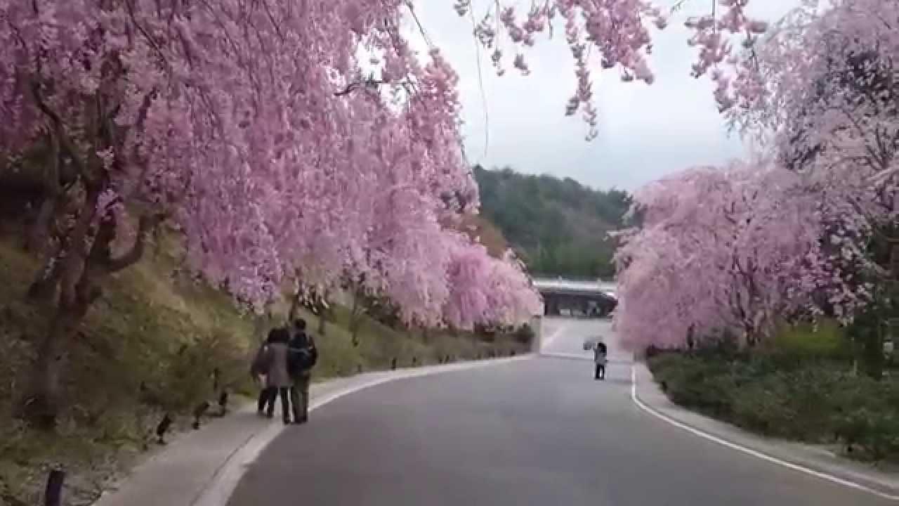 日本櫻花 - YouTube