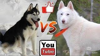 Сибирский хаски против Восточно сибирской лайки. Собаки. Animals Battle.