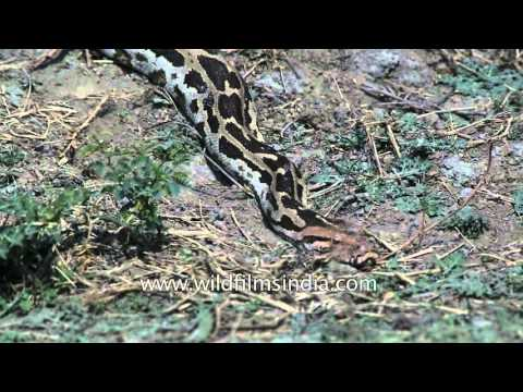 Indian Rock Python slithers on the ground