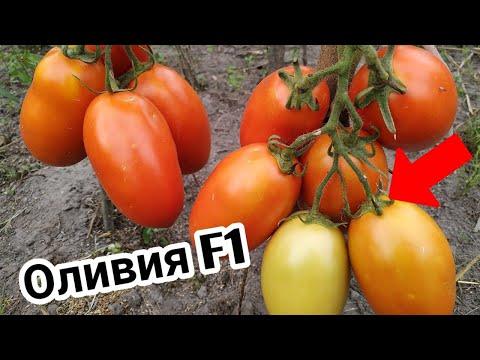 Томат ОЛИВИЯ F1 🍅 от фирмы United Genetics .СУПЕР урожайный ГИБРИД.
