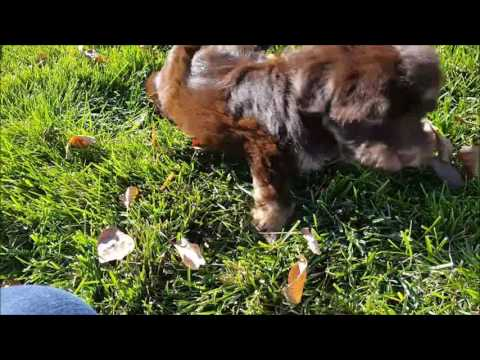 Havanese Puppy Scout Playing In The Grass!