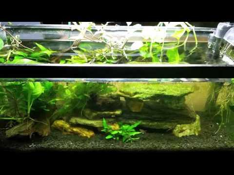 Pothos Plant And Nitrates In Your Aquarium.