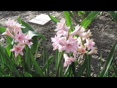 Розовый махровый гиацинт