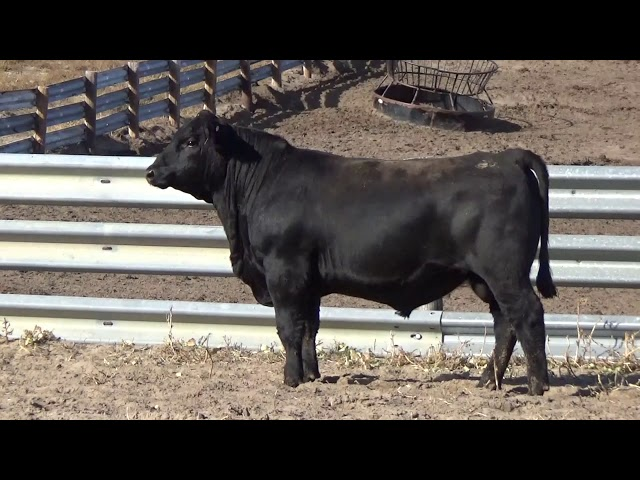 Connealy Angus Lot 125