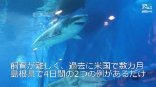 世界で唯一「ジョーズ」が泳ぐ水族館 沖縄美ら海にホホジロザメ thumbnail
