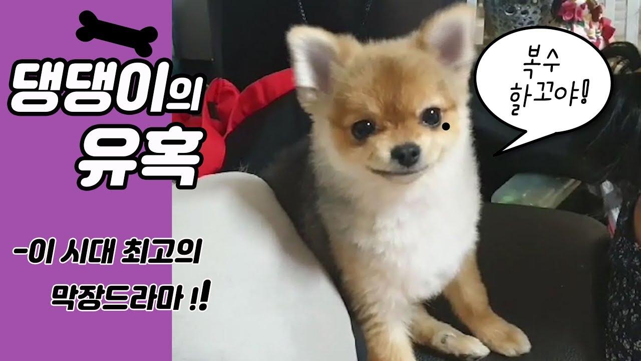 | 강아지 |★| 귀여운강아지 |♡[ 콩지 ]- 댕댕이의유혹  | 막장드라마 | 포메 | pomeranian |포메라니안
