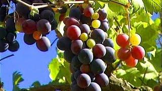 Вино и виноград 🍇 Wine and grapes