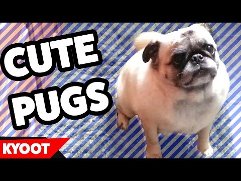 Pug Life: The Cutest Pug Videos of 2016 Weekly Compilation | Kyoot Animals