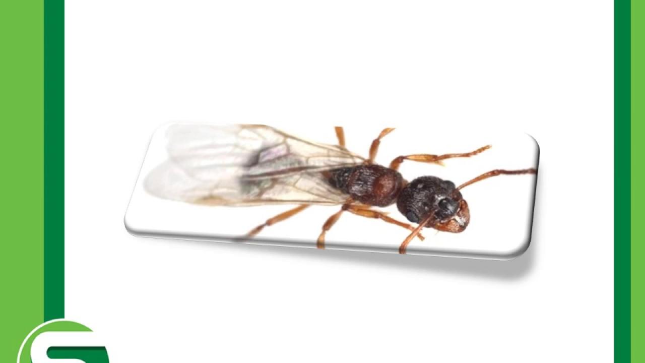 النمل الطائر وطرق إبادته من المنزل Youtube