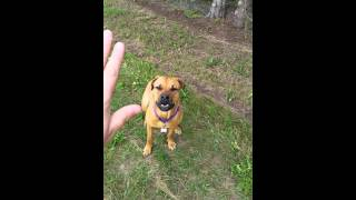 Rottweiler French Mastiff Mix Obedience