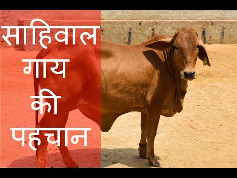 Characteristics of sahiwal cow