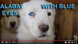 Алабай с ГОЛУБЫМИ ГЛАЗАМИ.The blue-eyed ALABAY.ألبي مع العيون الزرقاءOdessa.