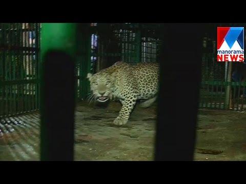 Leopard caught from Kannur transferred to Kattakkada  | Manorama News