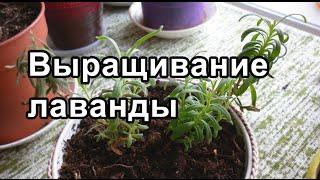 Лаванда - выращивание, посадка, размножение, высадка в грунт лаванды из семян