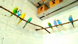 Кормление волнистых попугаев,волноваться не надо все сытые