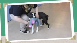 Kyra A Staffordshire Bull Terrier Mix Available For Adoption At The Wisconsin Humane Society
