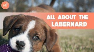 St. Bernard Lab Mix (Labernard): Everything You Need To Know