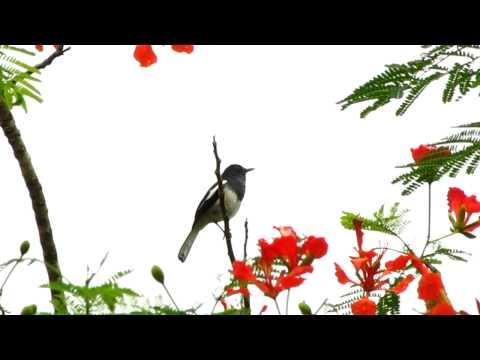 Oriental Magpie-Robin Singing! Singapore Botanical Garden.