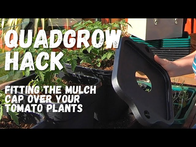 Quadgrow Hack: how to get your mulch caps over your already planted up tomatoes