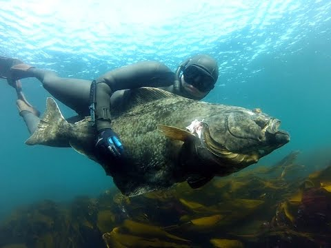 Spearfishing Halibut in Norway