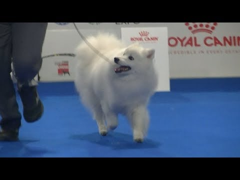 Japanese Spitz at Euro dog show 2018 in Warsaw