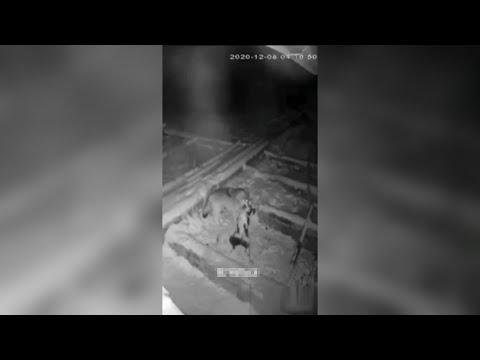 Волк загрыз собаку в Баймакском районе