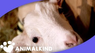 Frostbitten baby goat gets new back legs