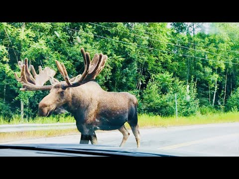 GIANT Moose In The Street