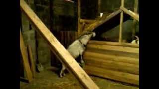 Козы. Разведение содержание коз. Домашняя ферма
