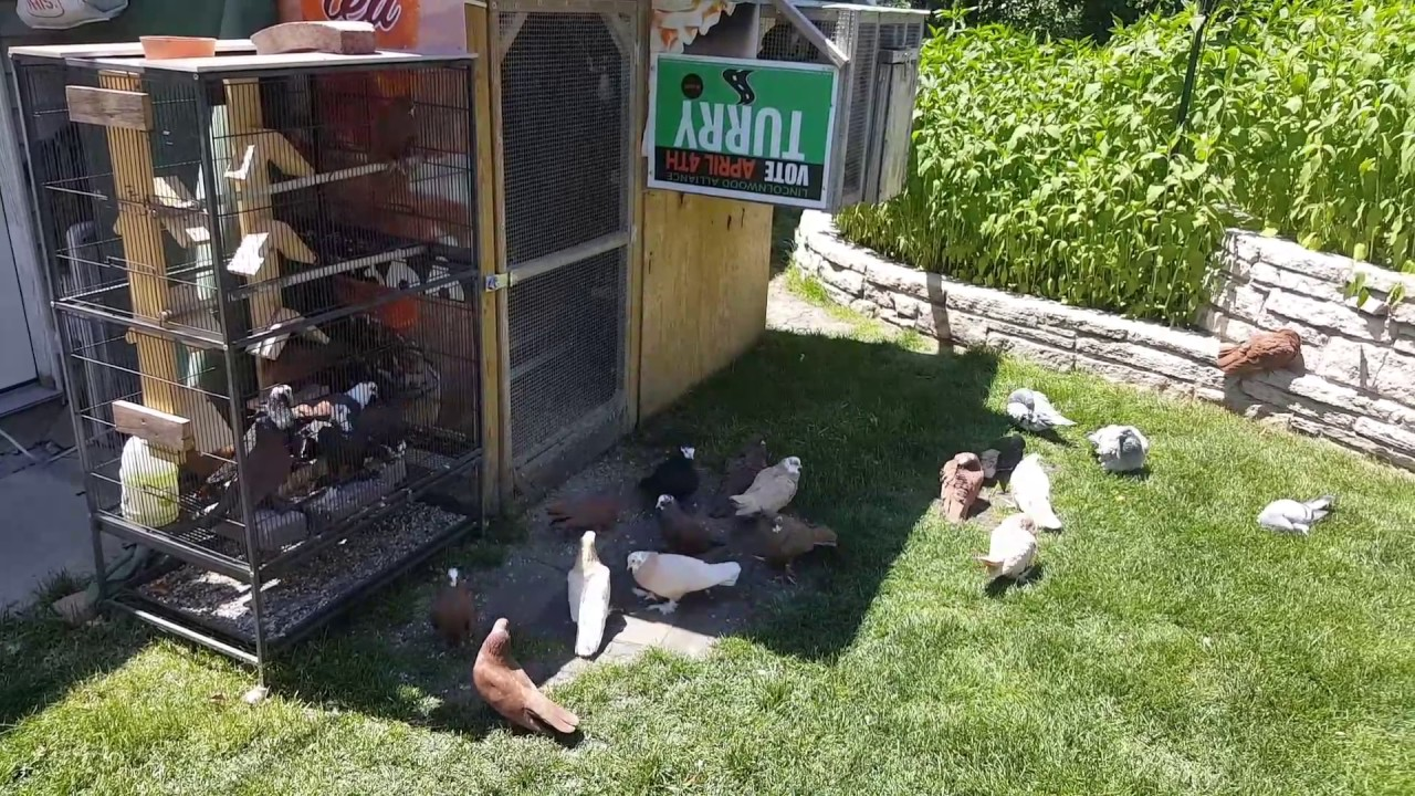 my beautiful pigeons at lincolnwood they are for sale youtube