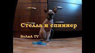 010 - 09 07 2017 - Лысый котёнок играет со Спиннером