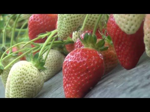 Dredhëza në Kosovë | strawberry in Kosovo |