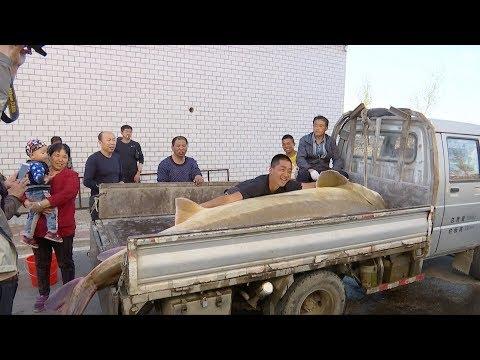 Giant Sturgeon Caught In Heilongjiang River