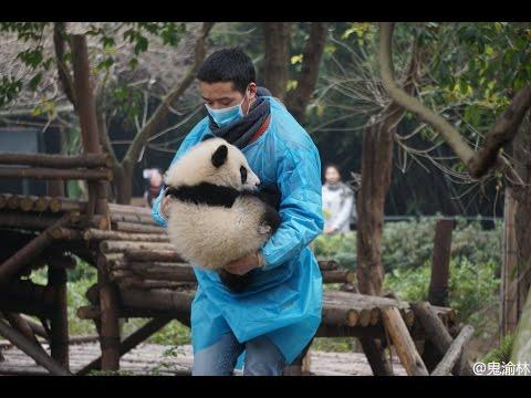 Exclusive: Nanny CATCHES a FALLING PANDA CUB!