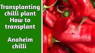 Transplanting chilli plant| how to transplant chilli plants| anaheim chilli| Garden Ideas