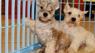Mini Schnauzer, Puppies, For, Sale, In, Charleston, South Carolina, Sc, Cayce, Beaufort, Bluffton, L