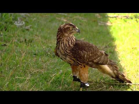 """მტაცებელი ფრინველები  - Birds of Prey - გადაცემა """"ეკოვიზია"""" -"""