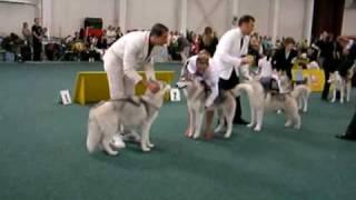World Dog Show Bratislava Young Male Siberian Husky Finale