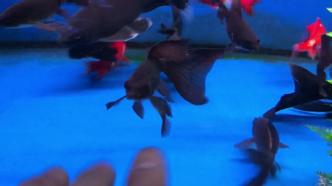 大黑龍鯉~88節 888元,小的2尾888