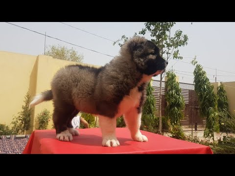 Apr 2019: American Akita Puppies Ready for Sale.