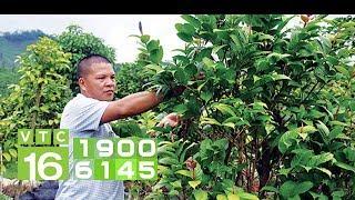 Bí quyết nhân giống thần dược trà hoa vàng | VTC16