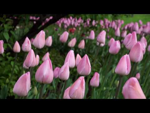 Розовые тюльпаны в тени