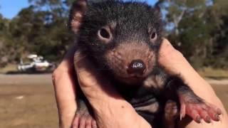 Тасманийский (тасманский) дьявол или сумчатый чертёнок