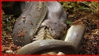 [Best Animal Fights]  [Wild Animal Attack]  Giant Anaconda Attack Human real Life ☆ National Geogra