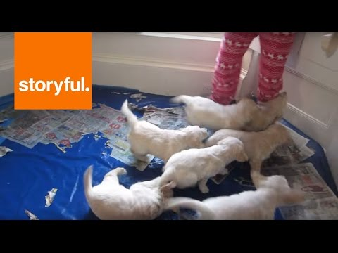 Seven Golden Retrievers Chase One Pair of Slippers (Storyful, Dogs)