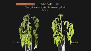 Seasol   Tomato Drought Stress Test