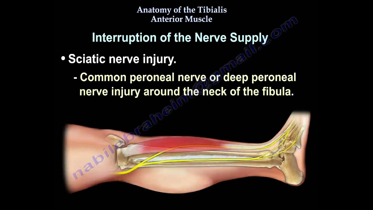 Anatomy Of The Tibialis Anterior Muscle - Everything You Need To Know - Dr   Nabil Ebraheim