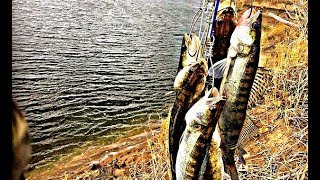 Судак ЛЮТУЕТ КАК ЛОВИТЬ СУДАКА НА ЖИВЦА Ловля судака на живца рыбалка в Астрахани с ночевкой 2019