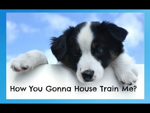 how-to-house-train-a-border-collie---border-collie-training---how-to-potty-train-a-border-collie-pup